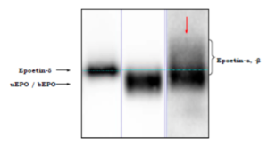 Figure 3: Excerpt of WADA Technical Document representing the characteristically diffuse mixed endogenous /recombinant band (indicated by red arrow).